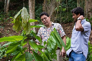 Reviving Puerto Rico's Cocoa Farms, Centuries After Hurricanes Destroyed Them