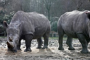 Poachers Break Into French Zoo, Kill White Rhino And Stea...
