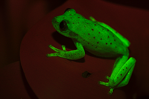 Groovy: Scientists Say They've Found The First Fluorescent Frog