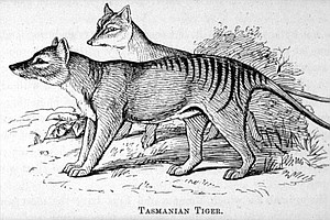 Back From The Dead? Reported Sightings Fuel Hope For Return Of Tasmanian Tigers