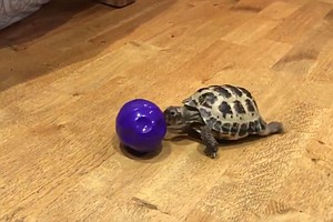 Bubba The Tortoise Dazzles Millions, Simply By Playing Wi...