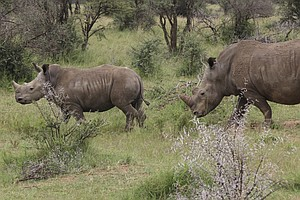 Rhino Horns Are Legal To Sell, South African Court Rules