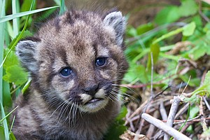 A Mountain Lion Kitten Is Found, Leading To Excitement And Concern