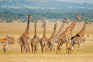 Wildlife Groups Want Giraffes Added To Endangered Species...
