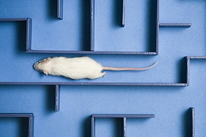 Human Umbilical Cord Blood Helps Aging Mice Remember, Stu...
