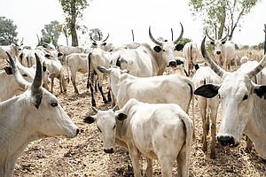 Clashes Over Grazing Land In Nigeria Threaten Nomadic Her...