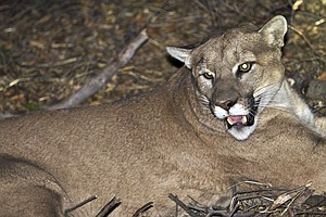 Confirmed: Mountain Lion Took Pescadero, Calif., Dog Whil...