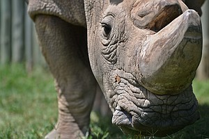 Single White (Rhino) Male Defies Age Stereotypes, Joins Tinder