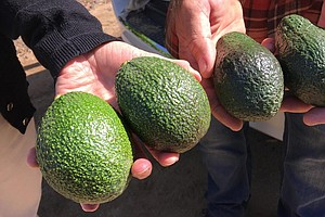 California Is On Its Way To Having An Avocado Crop Year-R...