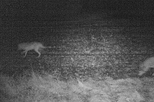 Denmark Now Has A Wild Wolf Pack Again — For The First Ti...