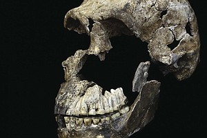Primitive Humanlike Species Lived More Recently Than Expe...