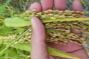 A Lost Rice Variety — And The Story Of The Freed 'Merikin...