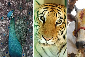 Do Peacocks Have Sex? Are Cows A Better National Animal Than Tigers?