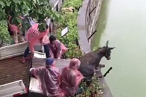 Angry Shareholders Feed Live Donkey To Tiger In Chinese Zoo
