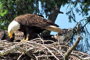 Eagles Adopt Baby Red-Tailed Hawk, Putting Aside Violent Species Rivalry