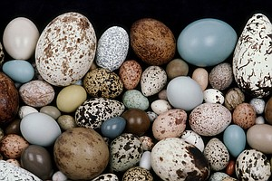 How Do Eggs Get Their Shapes? Scientists Think They've Cr...