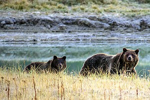 After 42 Years, Yellowstone Grizzly Will Be Taken Off End...