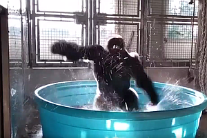 WATCH: It's Been A Long Week. So Here's A Gorilla Dancing In A Pool