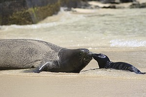Hawaiian Monk Seal Treats Tourists To The Sight Of A Newb...