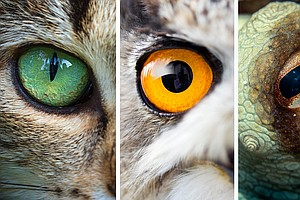 'One Of A Kind' Collection Of Animal Eyeballs Aids Research On Vision Problems