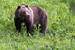 Wildlife Activists Plan Lawsuits To Protect Yellowstone Grizzlies
