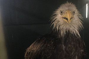 Injured Bald Eagle Found In Nation's Capital