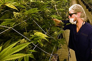 Marijuana Shortage Prompts Emergency In Nevada; Tax Offic...