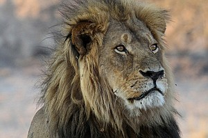Xanda, Son Of Cecil The Lion, Also Killed