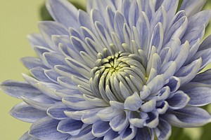 PHOTOS: Japanese Scientists Turn Chrysanthemums 'True Blue'
