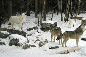 Great Lakes Gray Wolves' Spot Safe On Endangered Species List — For Now
