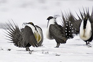 Trump Administration Revises Conservation Plan For Western Sage Grouse