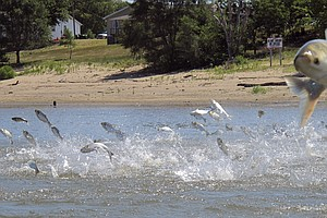 Federal Report Calls For $275 Million To Stop Asian Carp