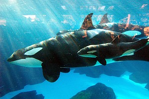 SeaWorld Euthanizes Matriarch Killer Whale Who Had Respir...