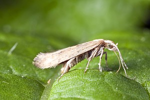 Scientists Try To Fight Crop Damage With An Invasive Moth...