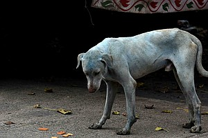 What's Making These Dogs In Mumbai Turn Blue?