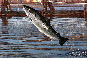 Why Are Atlantic Salmon Being Farmed In The Northwest?