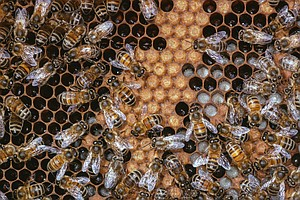 The Divisive Diet of Honeybees: Why Some Will Never Be Royals