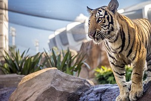 The LSU Tigers' New Tiger Makes His Debut