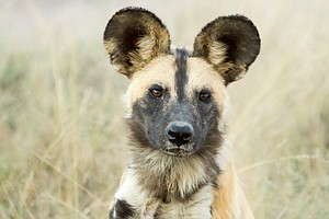 Democracy By Sneeze: When Wild Dogs Must Decide, They Vote With Their Noses
