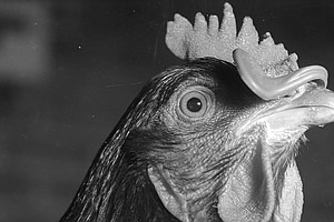 'Big Chicken': The Medical Mystery That Traced Back To Slaughterhouse Workers