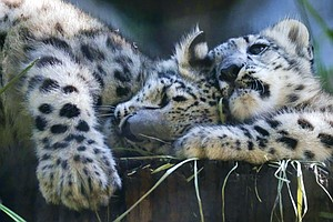Good News For Snow Leopards, Bad News For Ash Trees