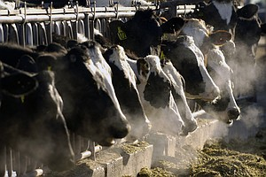 Gassy Cows Warm The Planet. Scientists Think They Know Ho...