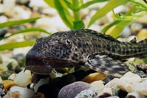 Invasive 'Devil Fish' Plague Mexico's Waters. Can't Beat ...