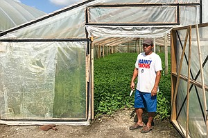 Water Spinach Farmers Struggle To Recover After Hurricane...
