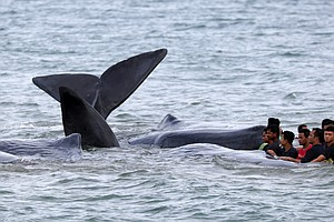 Volunteers Save Beached Whales On Indonesian Shore