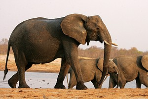 U.S. Lifts Ban On Importing Elephant Trophies From Zimbabwe And Zambia