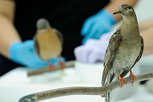 Why Did The Passenger Pigeon Go Extinct? The Answer Might Lie In Their Toes