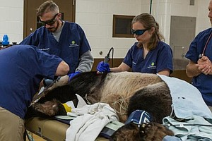 National Zoo Panda Tian Tian Gets Checkup For Weight Loss...