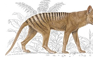Lack Of Genetic Diversity May Have Doomed Tasmanian Tiger...