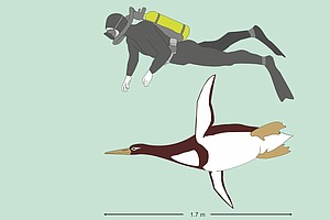 Giant Prehistoric Penguins Once Swam Off The Coast Of New...